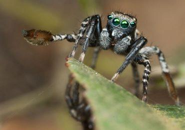 Encuentran nueva especie de araña que juega para atraer pareja