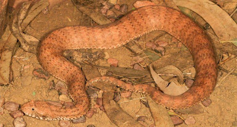 Encuentran nueva especie de serpiente venenosa