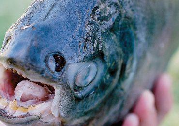 Encuentran pez pacú con dientes de humano