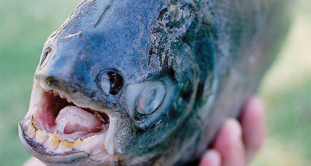 Encuentran pez pacú con dientes de humano - National Geographic en ...
