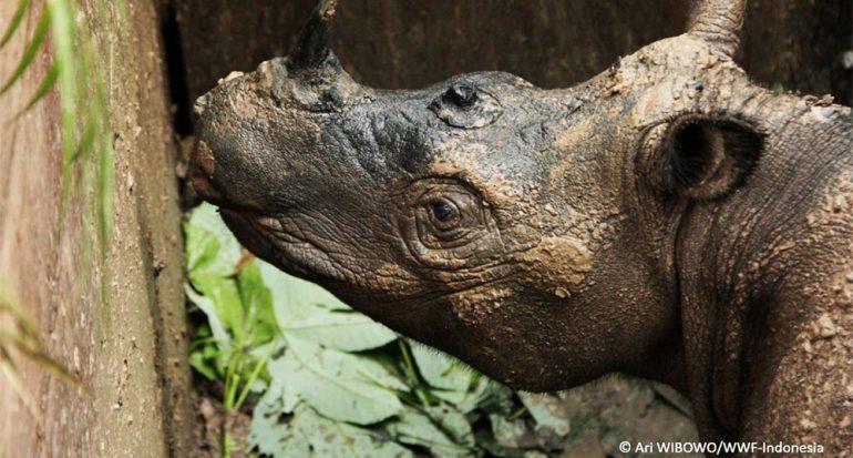 Encuentran raro rinoceronte de Sumatra... tras 40 años