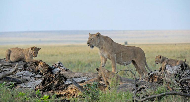 Envenenan leones famosos en reserva de Kenia