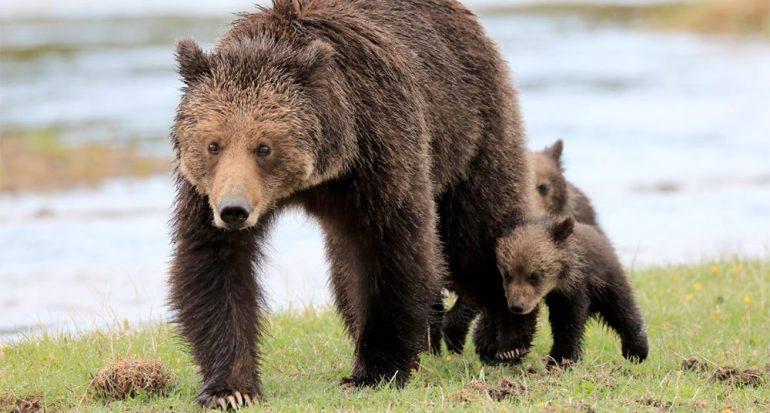 Es más probable que te mate una abeja que un oso