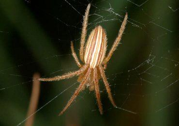 Esta araña destruye los genitales femeninos
