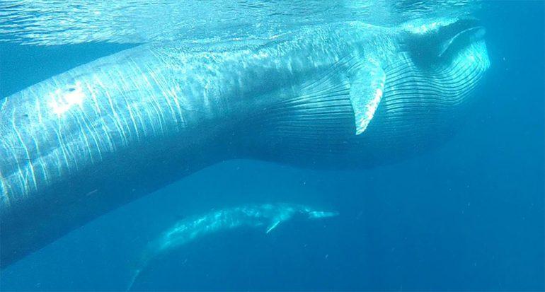 Esta ballena tamaño autobús es más inusual de lo que creíamos