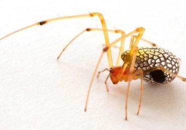 Estas arañas no se intimidarían en un club nocturno