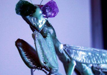 Estas mantis religiosas usan gafas 3D. Por razones científicas