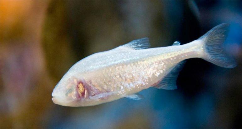 Este pez cavernario perdió los ojos a causa de la evolución
