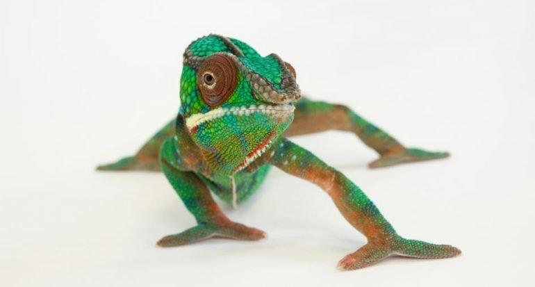 Esto sucede cuando un camaleón se mira en un espejo