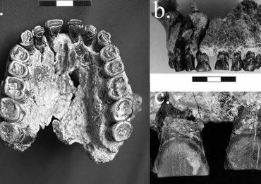 Fósil muestra evidencia antigua del uso de la mano derecha