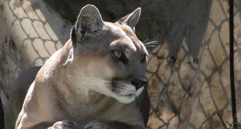 Falleció uno de los pumas más queridos de México