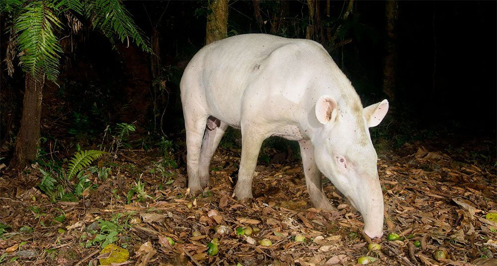 Fotografían al raro tapir albino en Brasil
