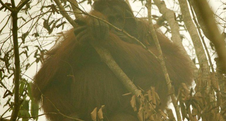 Fotos: Incendios de Indonesia amenazan orangutanes