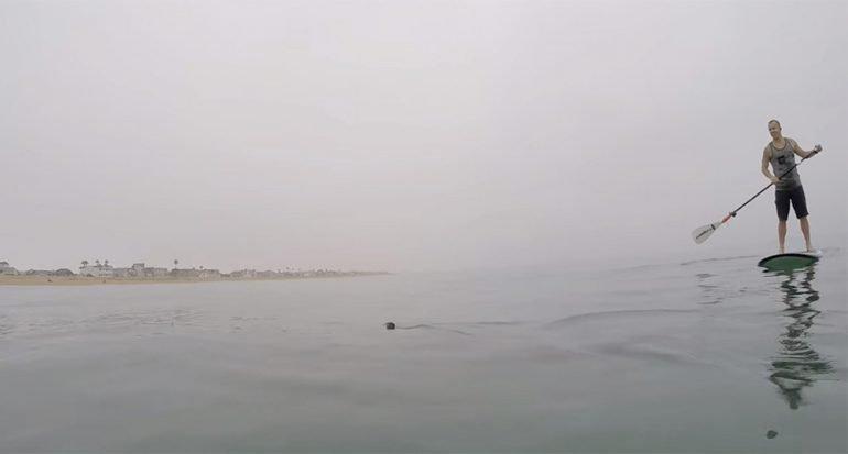Grandes tiburones blancos rodean a surfistas
