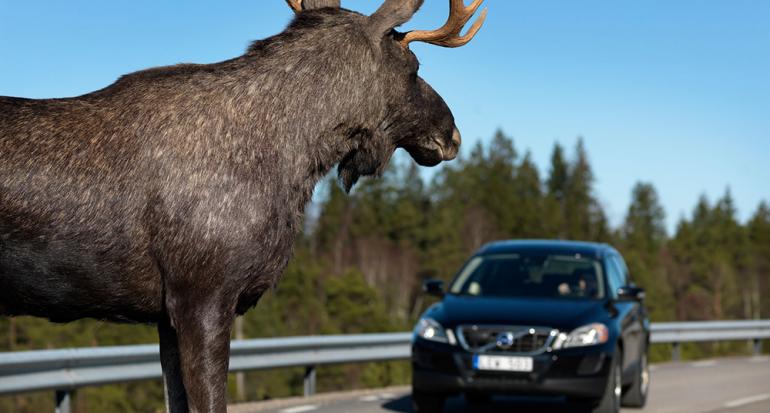 Habitantes de Alaska se sorprenden al ver un alce gigante en la carretera
