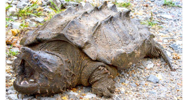 Hallan a la primera tortuga caimán en más de 30 años