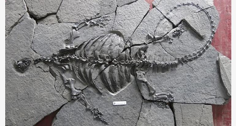 Hallan el fósil de una tortuga sin caparazón de hace 228 millones de años