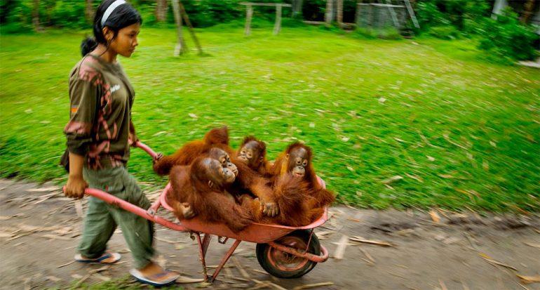 Increíbles orangutanes
