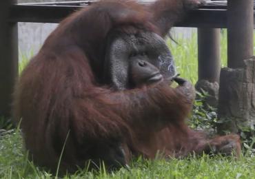 Indignación mundial por orangután que fuma en un zoológico