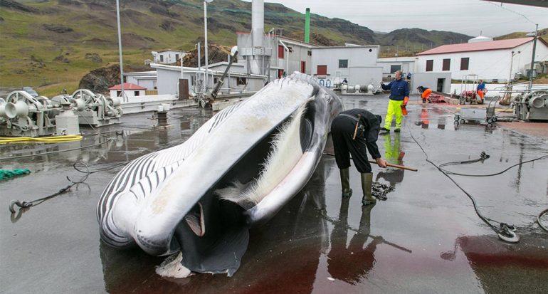 Islandia ya no cazará al rorcual común? por ahora