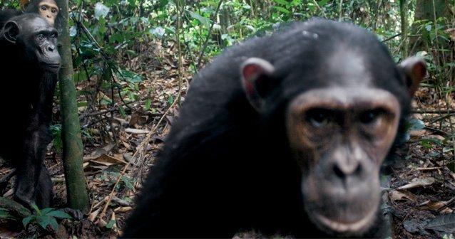 La Verdad Acerca de los Chimpancés