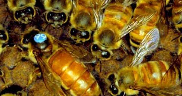 La abeja reina lava el cerebro de las obreras con sustancias químicas