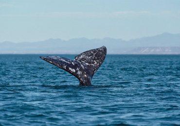 La ballena gris que rompió un récord
