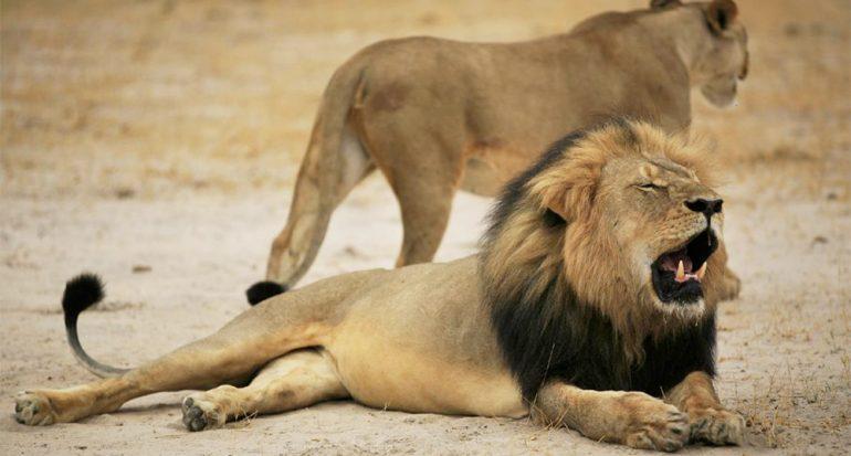 La cacería de trofeos y la muerte de Cecil