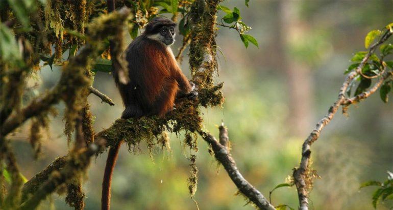 La caza de monos podría causar la extinción de estas especies