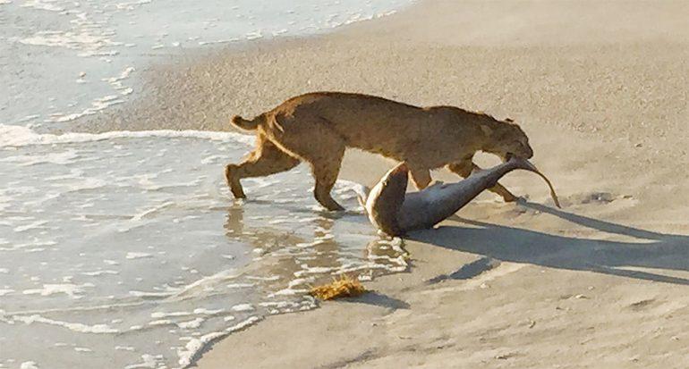 La caza del lince en el mar