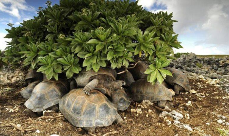 La estrategia de las tortugas gigantes de Aldabra
