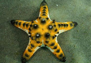 La estrella de mar chispas de chocolate y sus parientes
