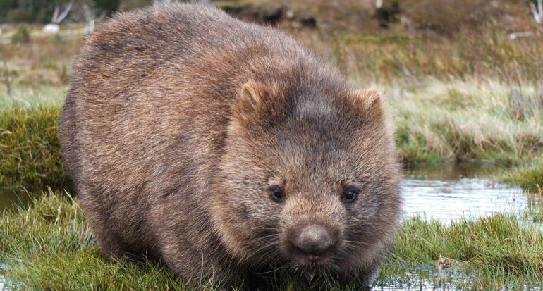 La estrella secreta de la fauna australiana