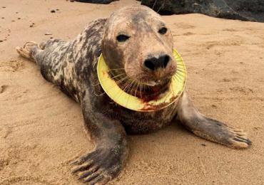 La foca que conmovió al mundo por vivir con un platillo volador