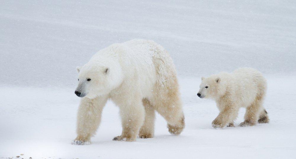 La Gran Batalla Del Oso Polar