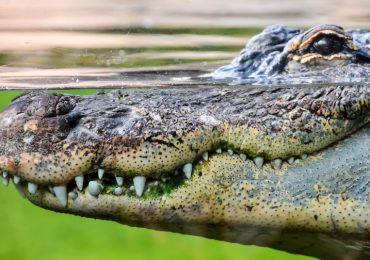 La importancia de los cocodrilos en los ecosistemas mexicanos