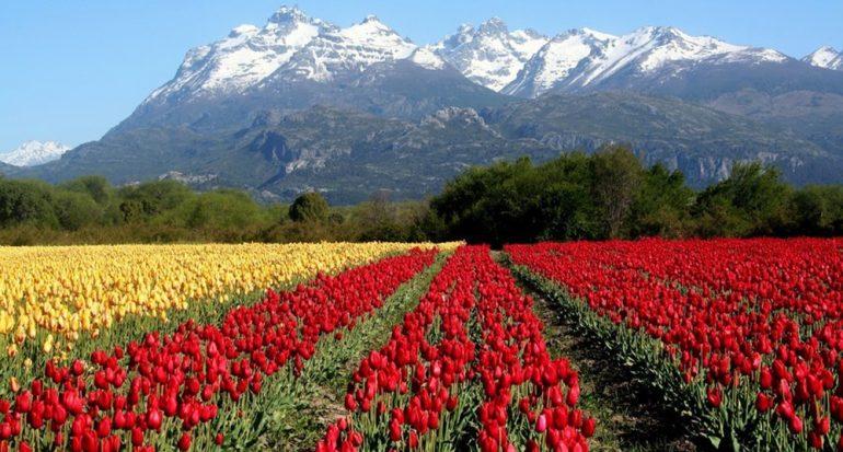La magia de los tulipanes en la Patagonia