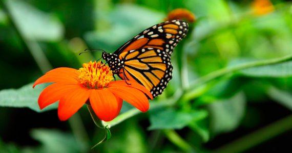 La mariposa monarca ya llegó a México