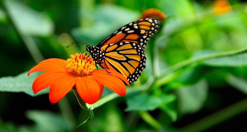La leyenda sobre el regreso de la mariposa monarca