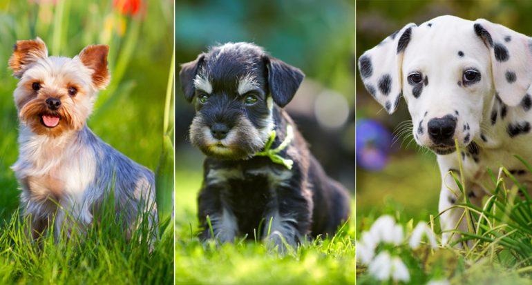 Las 10 razas de cachorros preferidas en Latinoamérica
