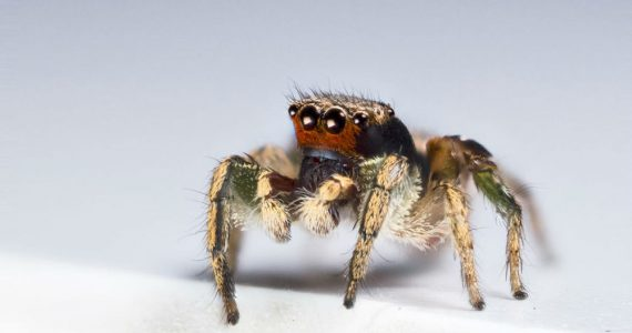 Las arañas saltarinas pueden ver más colores que tú