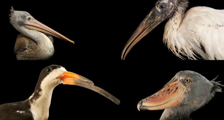 Las aves con los picos más extraños