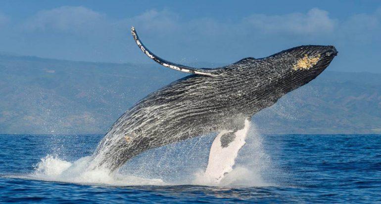 Las ballenas jorobadas ya no están en peligro de extinción
