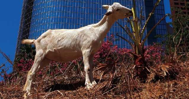 Las cabras | Podadoras rumiantes