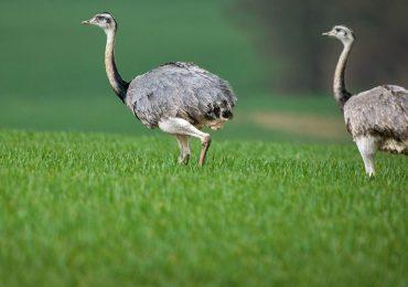 Las grandes aves en Alemania