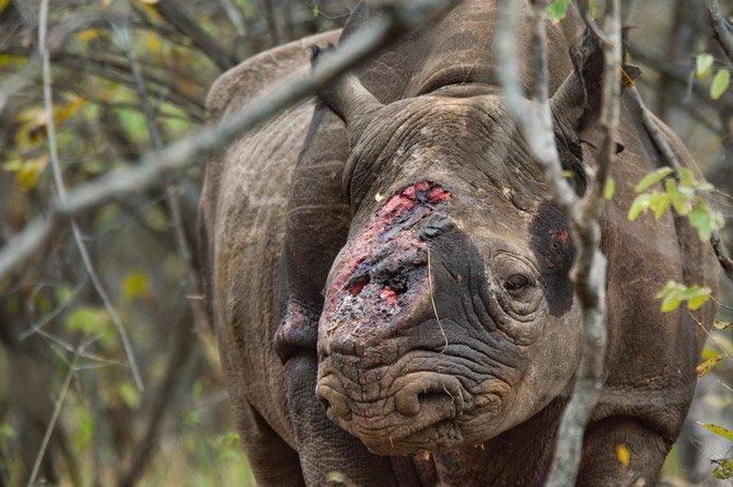 Las guerras del rinoceronte