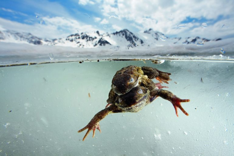Las indomables ranas de las nieves
