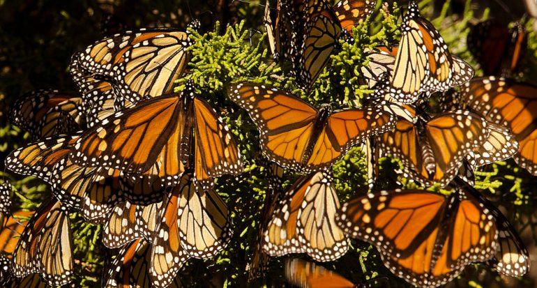 Las mariposas monarca regresan a México
