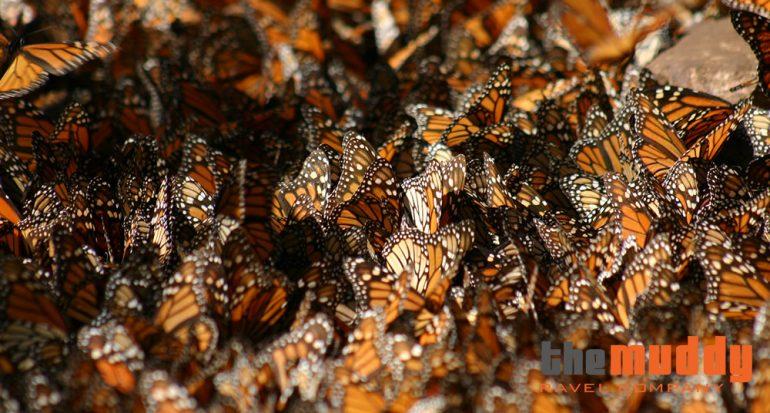 Las mariposas monarca: un santuario cerca de la Ciudad de México