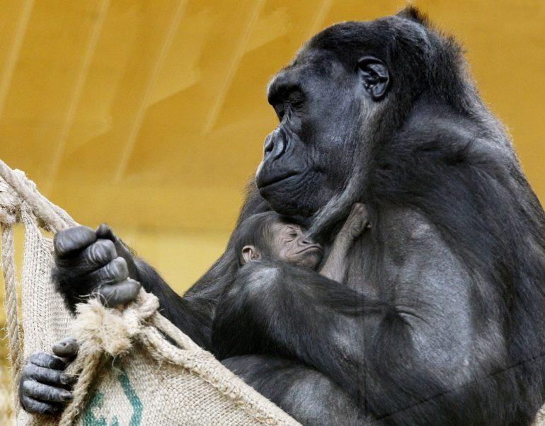 Lenguaje infantil de gorilas